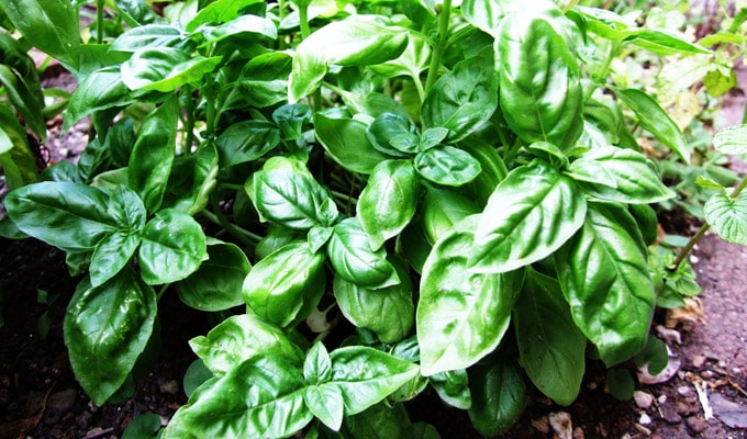 Does Basil Help with Urinary Tract Infection