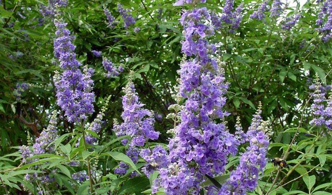 Vitex Is Great For Female Hormones. But Is It Safe During Pregnancy?