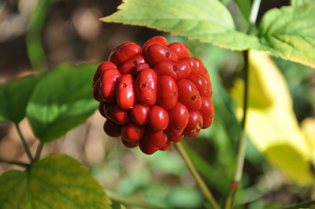 Ginseng berry for juicing and adrenal health
