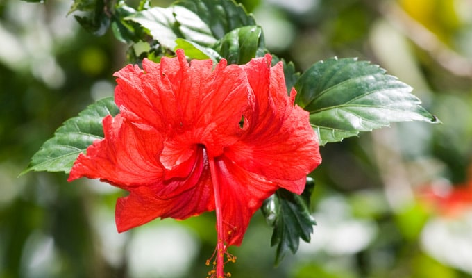 Should You Take Bromelain for a UTI  hibiscus