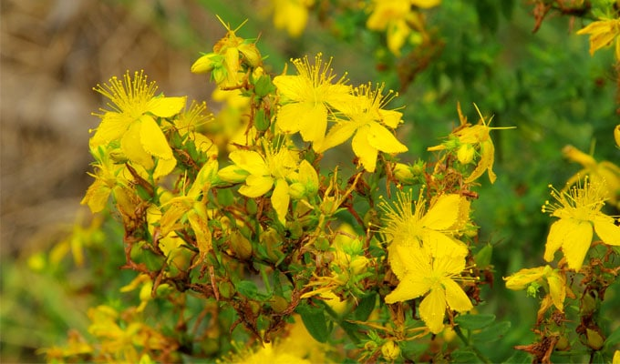 St. John's Wort, the Soothing Hot Flash Remedy for Your Menopause Health