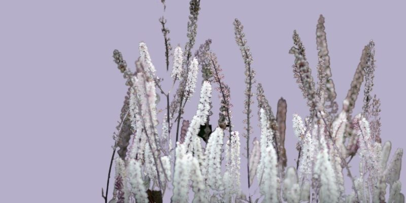 Black Cohosh: Top benefits, dosage, side effects, and more!