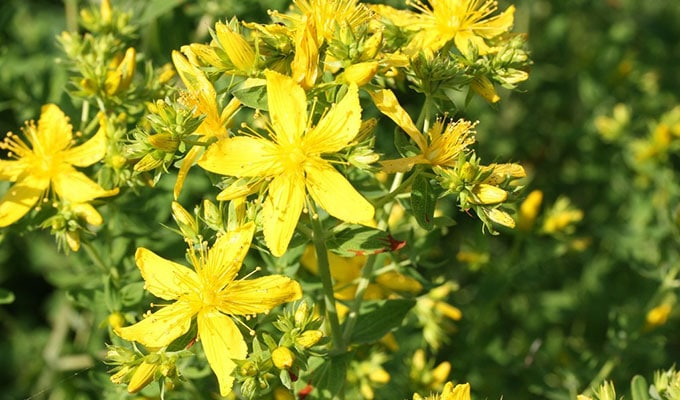 st johns wort Top 25 Herbal Remedies for Pain Relief
